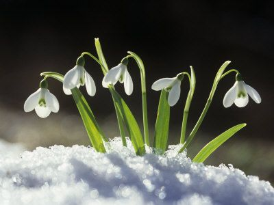 Snowdrops backlit, close-up
