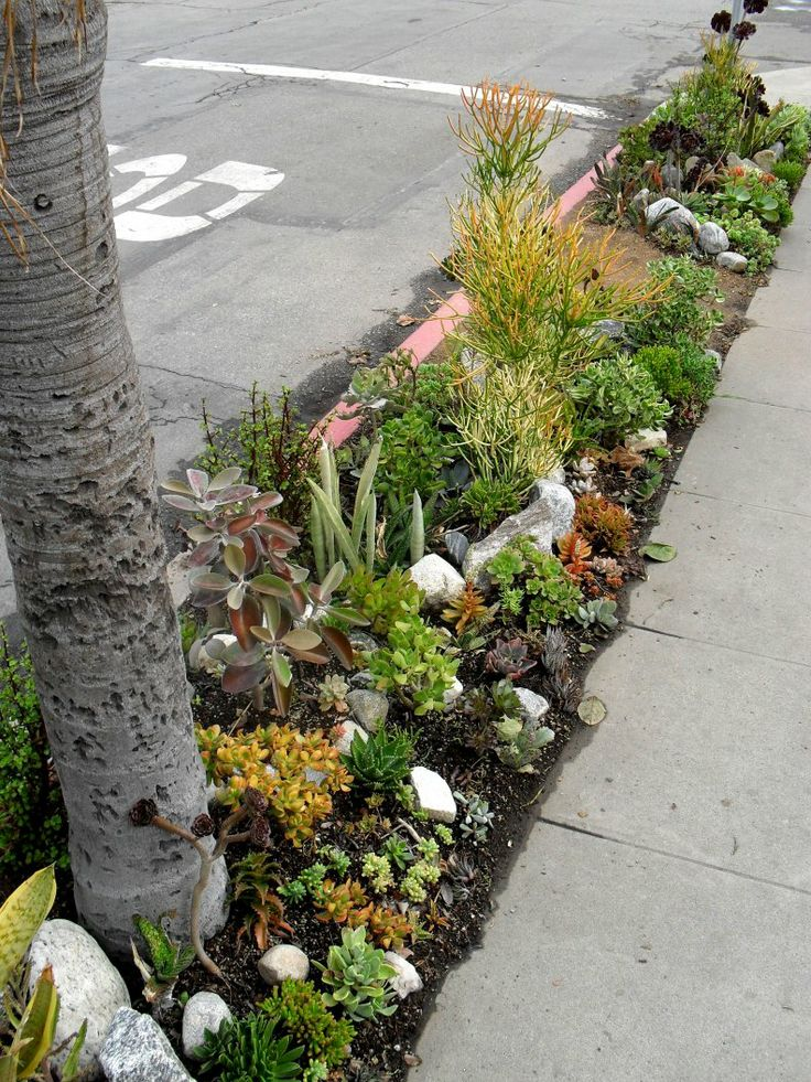 advice for killing lawn and replacing with succulents cacti succulents forum gardenweb cactilandscaping ideasdeliciouslawn