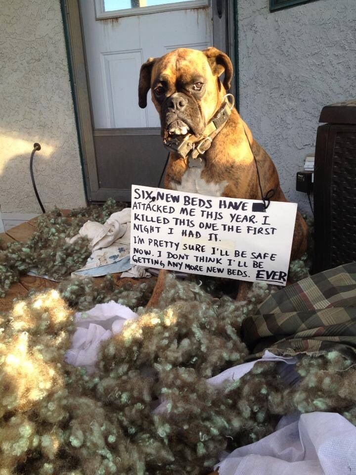 Best 25 Funny Boxer Ideas On Pinterest Funny Boxer Dogs