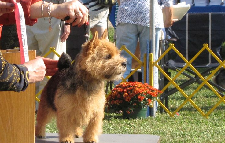 Foxglyn Norwich Terriers https://pagez.com/3532/33-facts-about-dogs