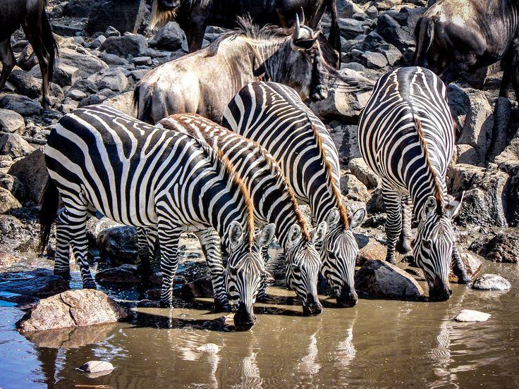 Serengeti wilderbeest migration