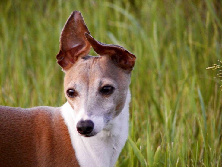 Italian greyhound cute | Italian greyhound | Pinterest