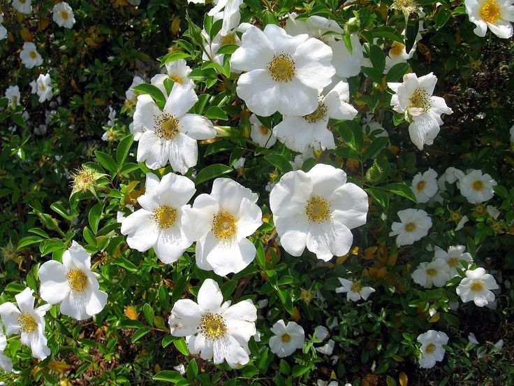 Роза вирджиния фото и описание