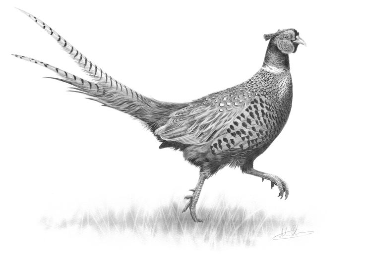 Ring Necked Pheasant D...