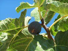 Figuier : PropriétésLe fruit (figue) et les feuilles du figuier ont des propriétés digestives et drainantes. On leur connaît également des vertus anti-inflammatoires, émollientes, calmantes et expectorantes. On les utilise en cas d'encombrement respiratoire, de toux, de gastrites ou de troubles digestifs (constipation par exemple). Les feuilles de l'arbre ont également des propriétés antidiabétiques.Figuier : Etudes scientifiquesInconnues