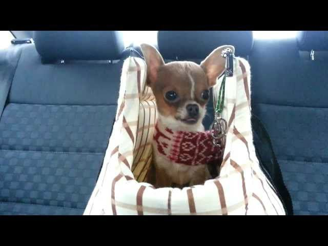 This Adorable Chihuahua Puppy Has The Cutest Cries This Puppy