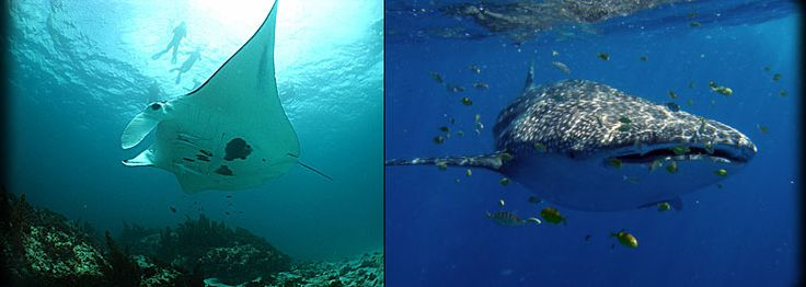 Whale Sharks and Manta Rays.... I Dream to dive with these amazing creatures one day