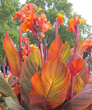 Canna+'Phasion' and other varieties of Canna Tropicanna. Red, Orange and Yellow blooms give that tropical look.