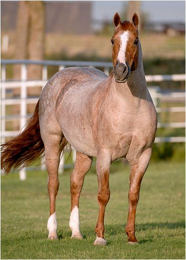 Peptoboonsmal (Peppy San Badger x Royal Blue Boon x Boon Bar), foaled in 1992, was bred by Larry Hall, Weatherford, Texas. Under Gary Bellenfant's saddle, he won $180,487 in National Cutting Horse Association money as a 3- and 4-year-old, highlighted by the 1995 National Cutting Horse Association Futurity Open Championship.