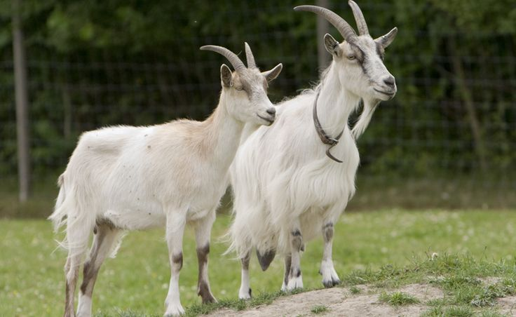 A newly identified pheromone in male goat odor provides a clue to what makes a female goat hot to trot. ~~ Mats Lindh/Flickr (CC BY 2.0)