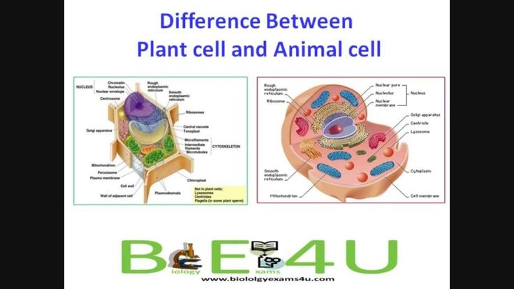 the differences between plants and animals 2018-6-25 experiment: differences between animal and plant cells  differences between animal and plant cells  are both plants and animals composed of cells 6.