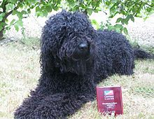 Barbet (dog) - Wikipedia, the free encyclopedia