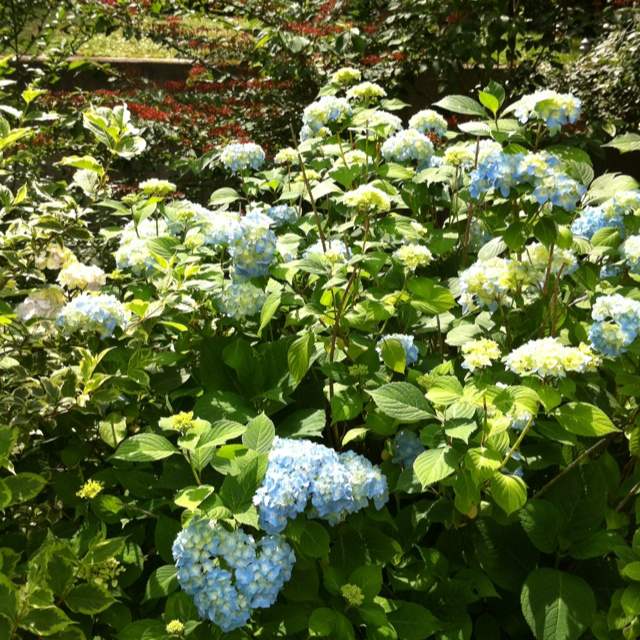 Hydrangea 2012. Just coming into bloom.