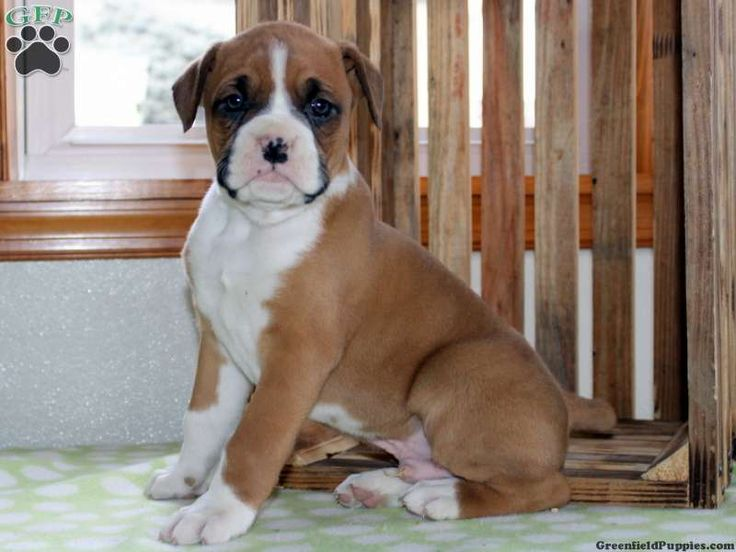 Buddy is a sharp looking boxer pup who loves to bounce