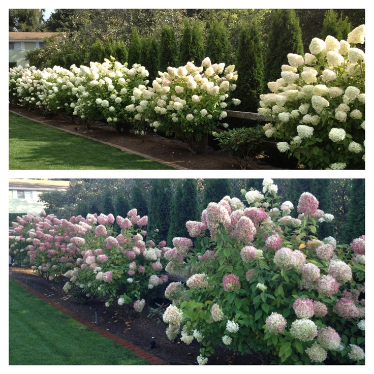 Limelight Hydrangea's... Summer to Autumn