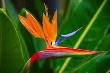 Image result for ave del paraiso flor