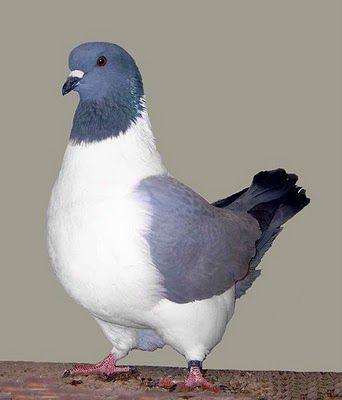List of Pigeon Breeds | Persian Strasser کبوتر Strasser Pigeon