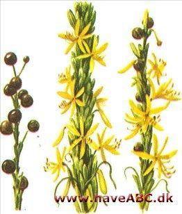 Kejserlys - Asphodeline lutea