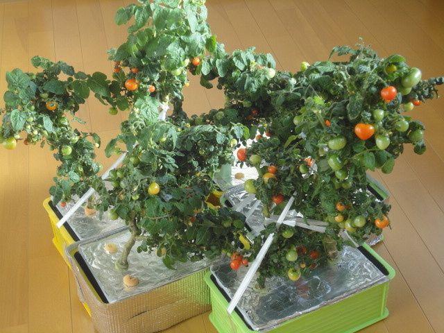 水耕栽培 ミニトマト レジナ 深底水耕栽培容器に定植 水耕栽培