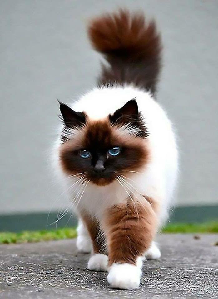 Красивые котики фото породистые
