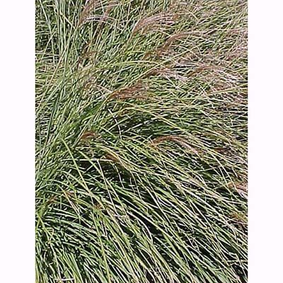 Drought tolerant grasses create beautiful accents, hedges or dividers.