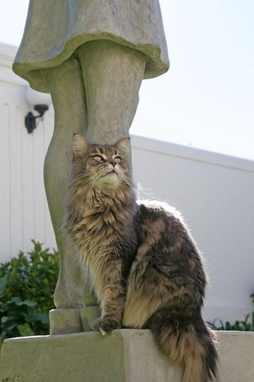 Maine Coon lady http://www.mainecoonguide.com/what-is-the-average-maine-coon-lifespan/