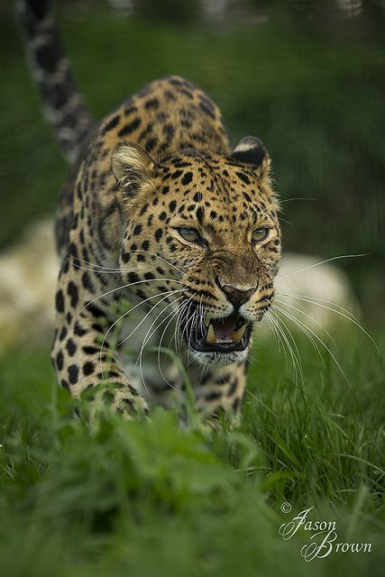 On the prowl by JasonBrownPhotography, via Flickr
