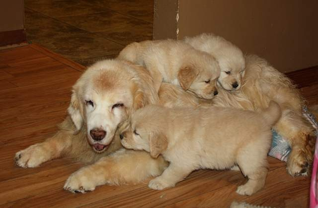 16 year old Bailey of Harborview Goldens in PA with her great-great-grand-daughters. Love old gold!
