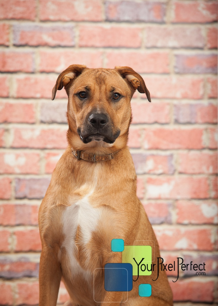 15 Best Malinois And Boxer Mix Images On Pinterest