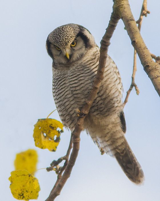 Northern Hawk-Owl / Sperweruil by Robert Westerhof on 500px