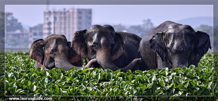 Asiatic elephants at Deepor Beel