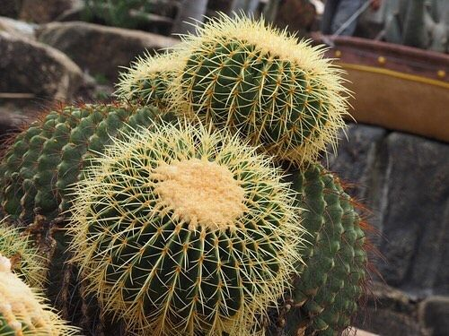 Check out this funky gem of a succulent commonly known as a Golden Barrel Cactus