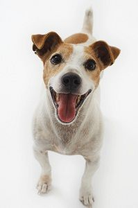 A short legged Jack Russell Terrier. Smiling, playful, and happy: the ideal stance for a JRT if you ask me.