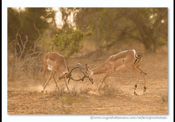 Stoeiende gazellen. Door communitylid IngridVekemans - NG FotoCommunity ©