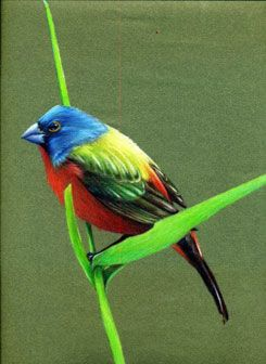 Painted Bunting colored pencil painting by David Dooley > learn tips for using colored paper and how to use #coloredpencil in his eWorkshop. ^ch #drawing #birds