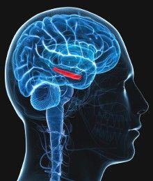 Il cervello diverso dei gemelli identici: dimostrata per la prima volta la produzione di nuovi neuroni nell'ippocampo .Questo processo di neurogenesi è tanto più marcato quanto maggiori sono gli stimoli a cui si è sottoposti. / hippocampal neurogenesis seen for the first time in mouse brain