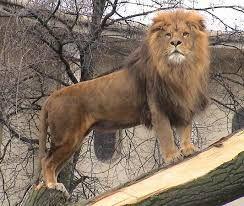Afbeeldingsresultaat voor leeuw