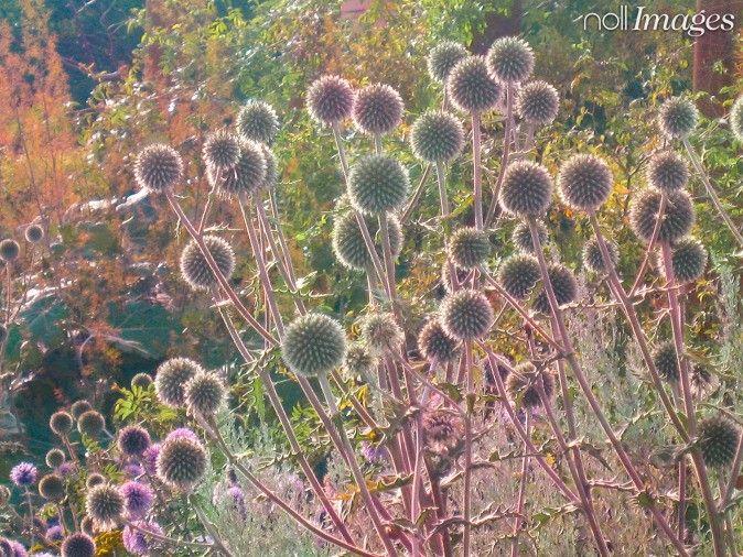 Nollimages - Per Zennström - blommor, trädgård, blomma, växt, växter, rabatt, odla