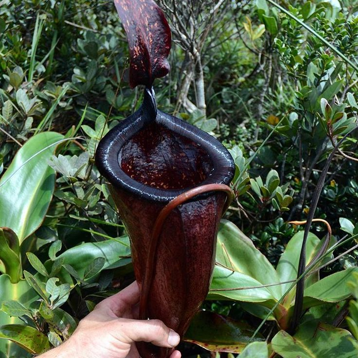 Nepenthes attenboroughii a deep red pitcher | pinterest