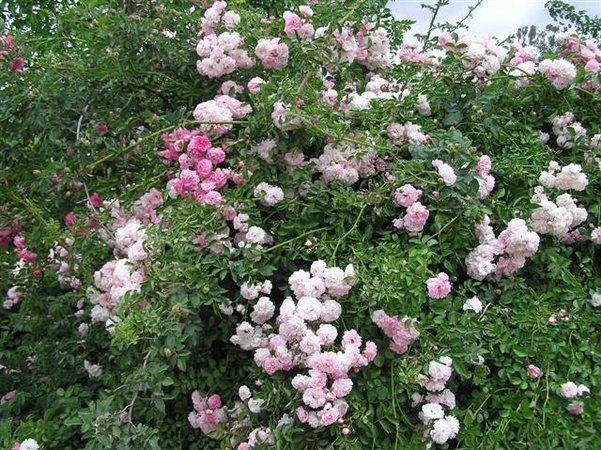 'Dorothy Dennison' Rose Photo*