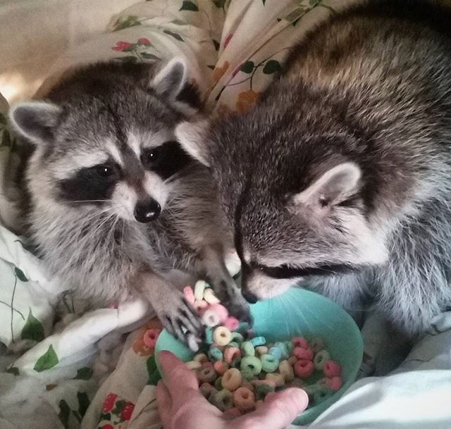 """Hope says """"Happy Sunday indeed, gonna stuff my mouth!"""" ~♡ Grace says """"You're gonna share those, right?"""" ~☆ #graceandhopecoons #coon #raccoon #mapache #waschbar #trashpanda #fruitloops #timetoeat #breakfast #breakfastinbed #cereal #stuffmymouth #foodie #happyday #getinmybelly #share #areyougonnashare #funnypet #handful #cutepet #raccoonsofinstagram"""