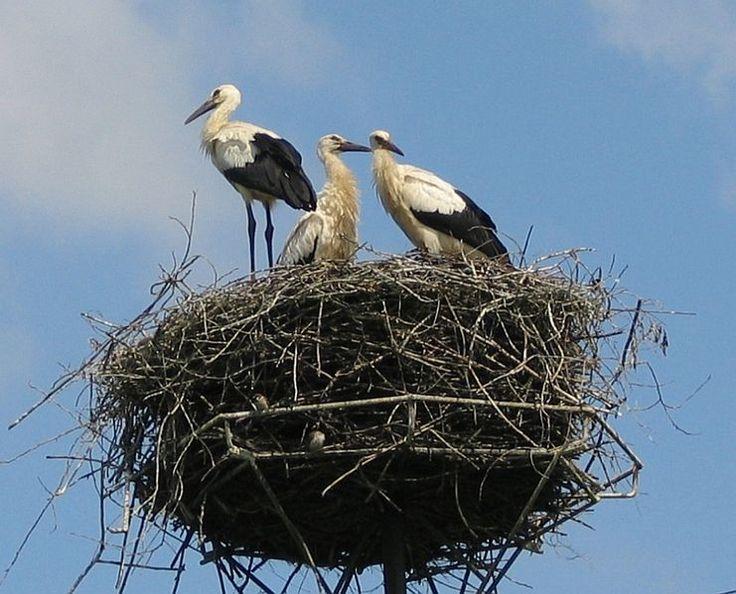 White storks (Ciconia ciconia), Poland by Dixi (Monika Betley) https://en.wikipedia.org/wiki/File:Ciconia_ciconia_juv_small.jpg