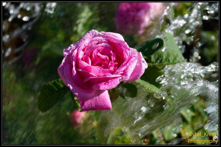 Pink water rose