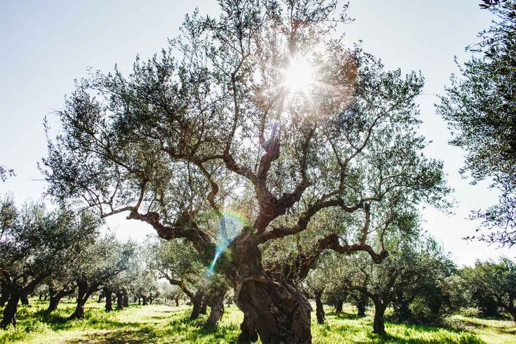 Andelea Estate Premium Extra Virgin Olive Oil #Olive #tree #Natural #Greek #sun #Premium #extra #virgin #olive #oil