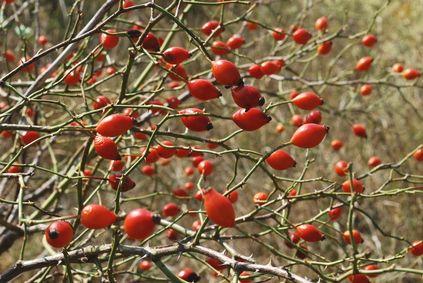 Le cynorrhodon, fruit de l'églantier, peut faire diminuer les risques de maladies cardiovasculaires en diminuant la pression artérielle systolique et la lipidémie sanguine.