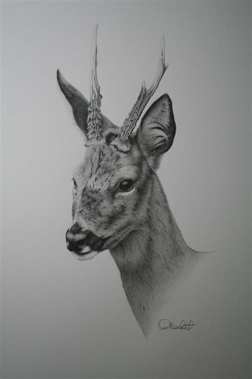 Roebuck study by clive64.deviantart.com on @DeviantArt...  A study of a lovely Roebuck that visited my garden a few weeks ago. Always wanted to draw one of these so was thrilled when one appeared on my doorstep!