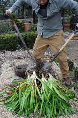 HOW TO GROW AGAPANTHUS FROM SEED |The Garden of Eaden