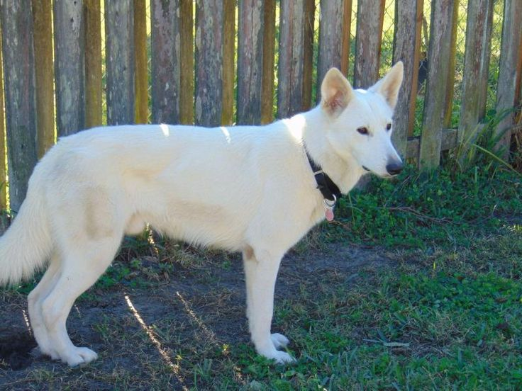 Meet Turk, an adoptable White German Shepherd looking for a forever home. If you're looking for a new pet to adopt or want information on how to get involved with adoptable pets, Petfinder.com is a great resource.