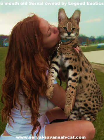 African Serval Cat. Gorgeous exotic...love to educating people on pets. Know what you're getting and what you're committing too!