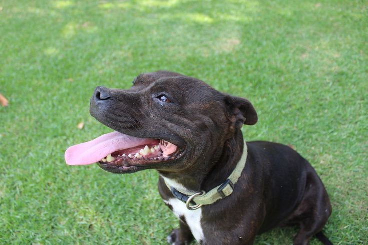 Best Dog Crate For Staffy Dogs & Puppies